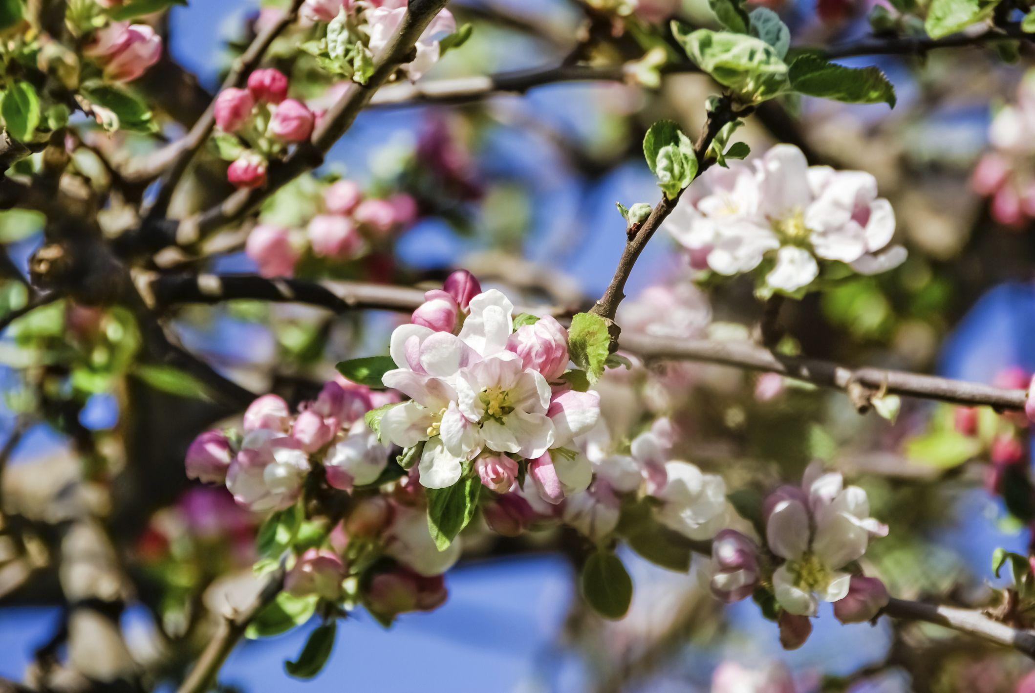 How To Identify Apple Trees Hunker Crabapple Tree Apple Tree Crab Apple