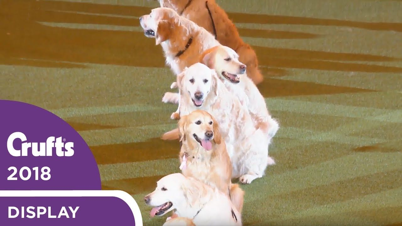 Southern Golden Retriever Display Team Crufts 2018 Dogs