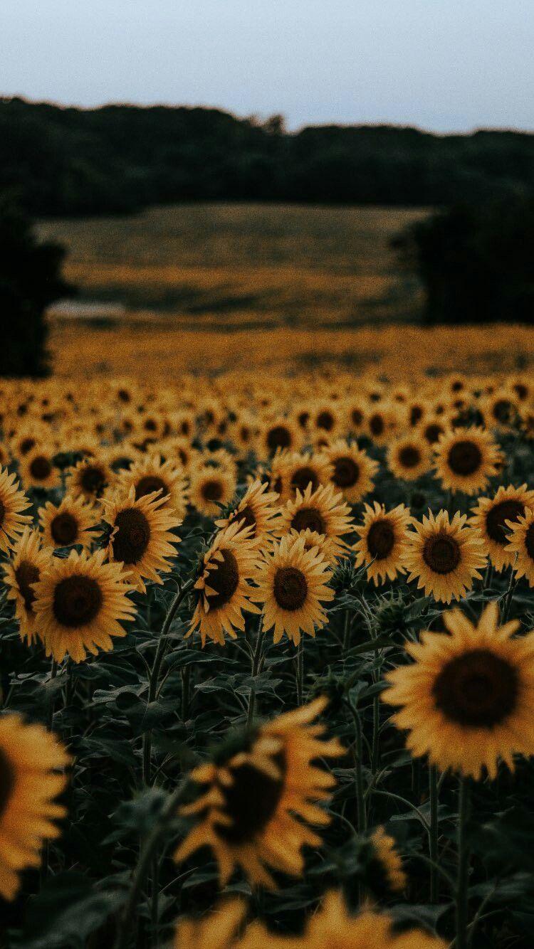 Pin by zainab B. on خلفيات Sunflower iphone wallpaper