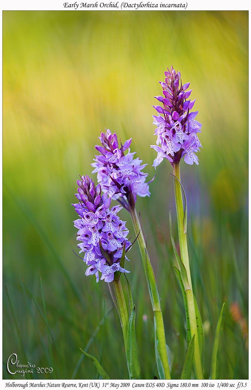 Bσƙɛɧ βεαųɬɨεᏕ early marsh orchid at sunset by claudio cugini