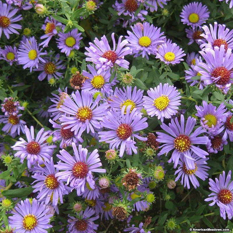 Aromatic Aster Seeds American Meadows American Meadows Vegetable Garden Planning Violet Flower
