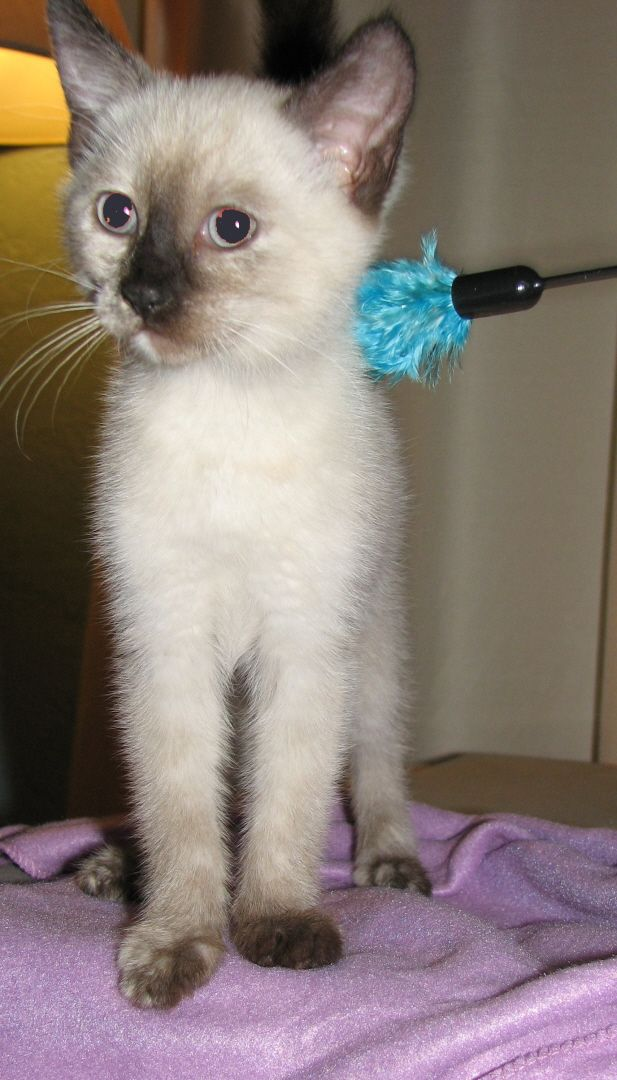 My sweet - Seal Point Siamese Kitten from K.A.T. Kitty Angel Team