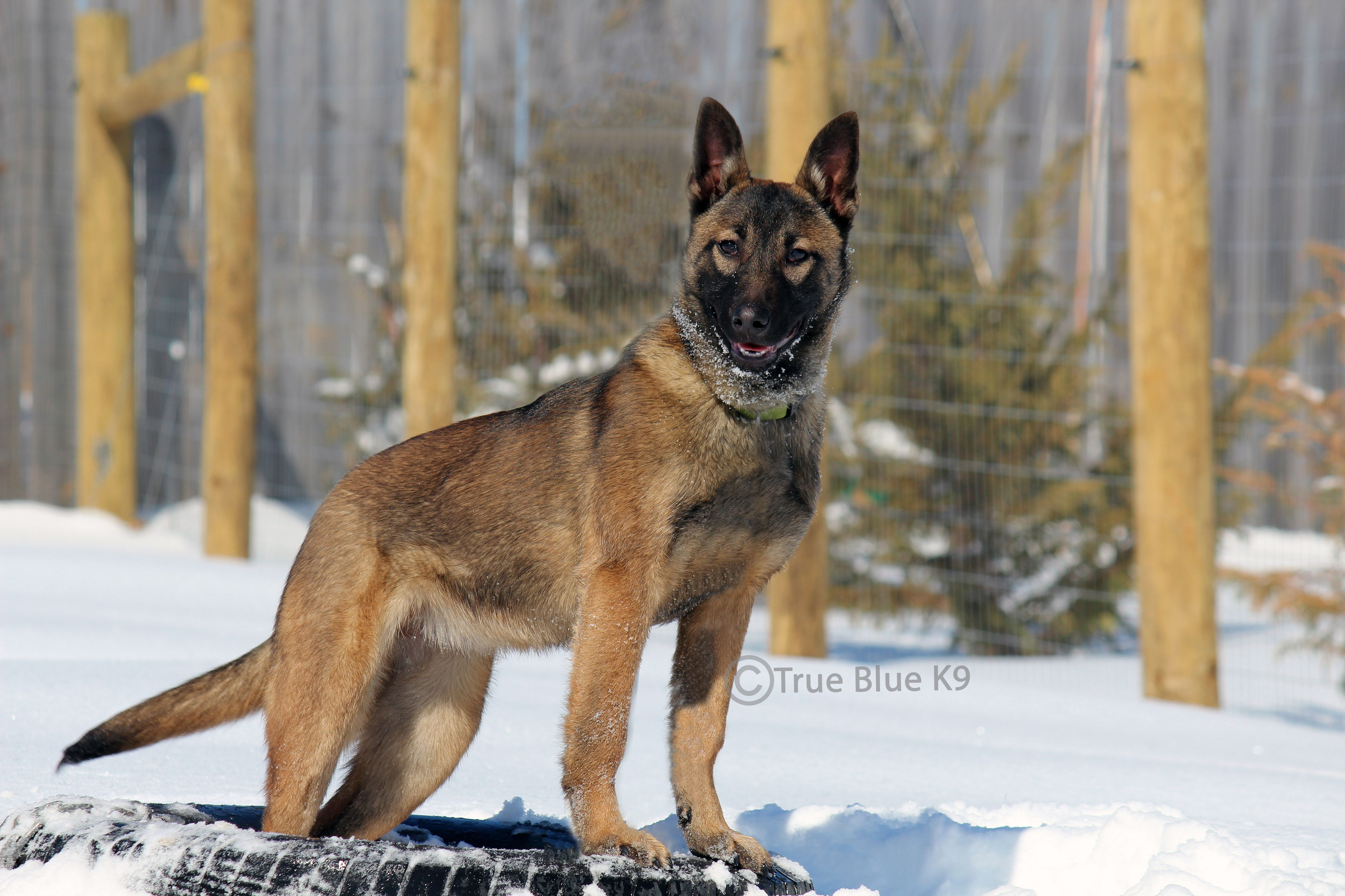 You Mean To Tell Me This White Stuff Is Snow Belgian Malinois Dog Belgian Malinois Malinois Dog