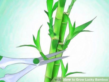 Grow Lucky Bamboo Gardening Pinterest Lucky Bamboo Bamboo And