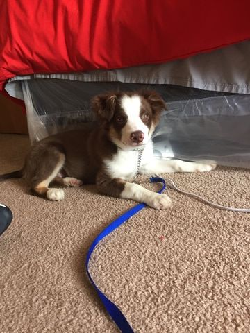 Border Aussie Puppy For Sale In Columbus Oh Adn 27700 On Puppyfinder Com Gender Male Age 4 Months Aussie Puppies Aussie Puppies For Sale Puppies For Sale