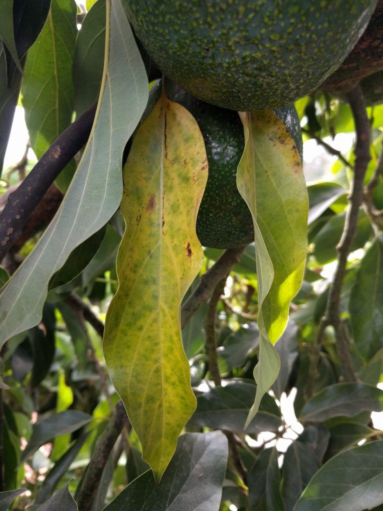 Avocado Leaves Turning Brown Here S Why And What To Do Greg Alder S Yard Posts Food Gardening In Southern Cal In 2020 Avocado Tree Care Avocado Tree Avocado Leaves