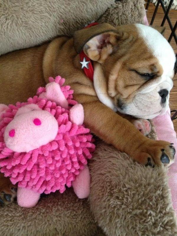 English Bulldog Puppy Sleeping Cute Dogs Pets Animals
