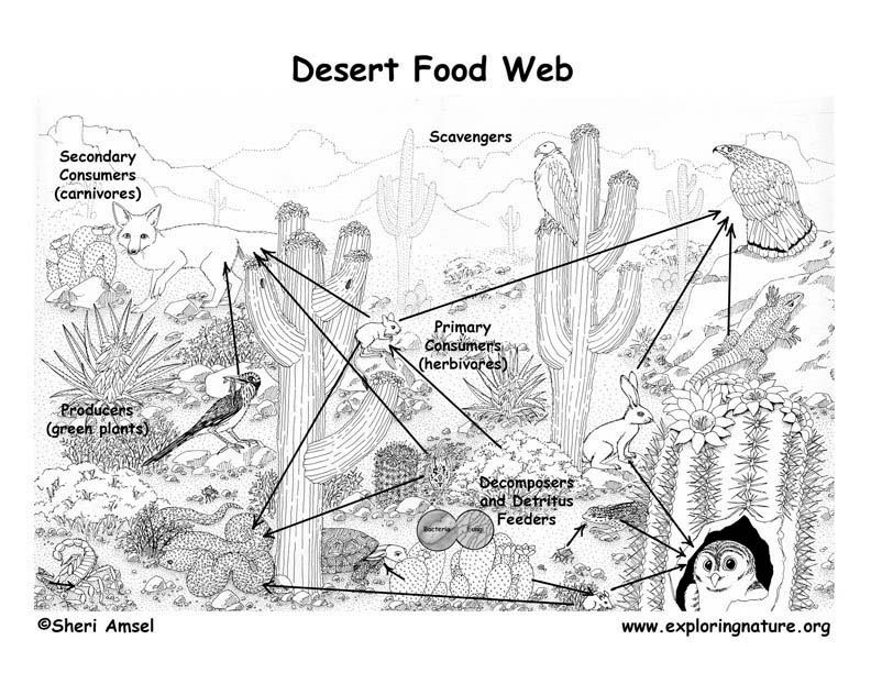 Sonora Desert Food Chain Coloring Page Google Search Doodle