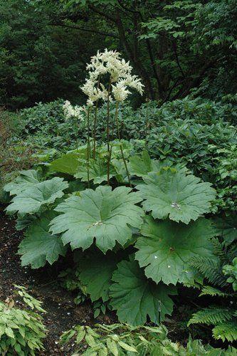 Astilboides tabularis #shadeplantsperennial