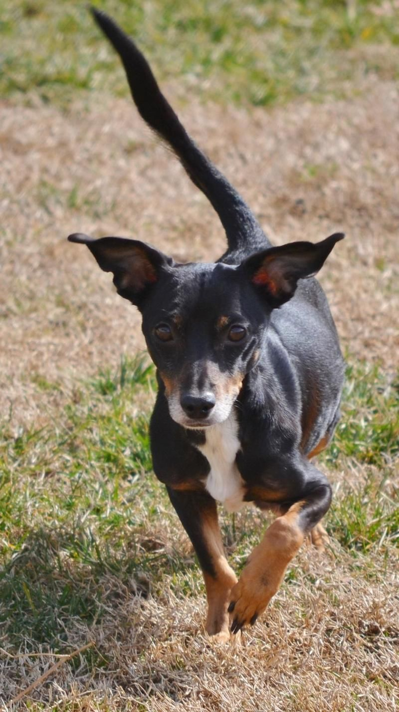 Adopt Roxy On Chihuahua Mix Dogs Chihuahua