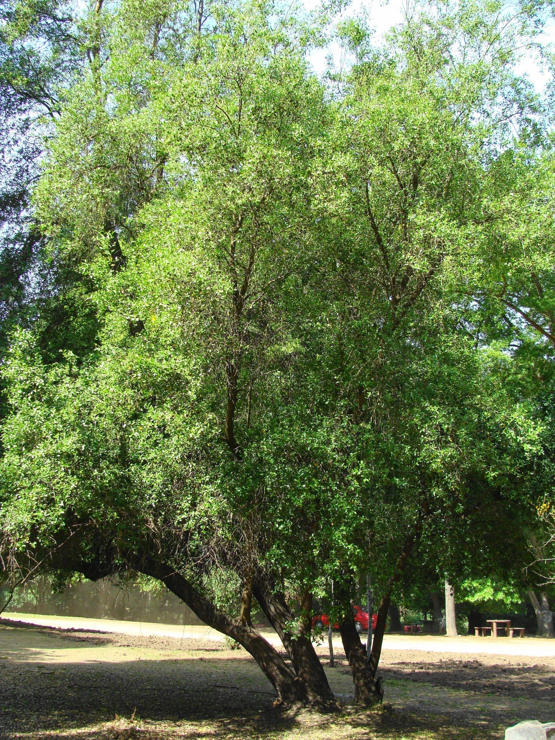 Quillay quillaja saponaria arbol end mico de la zona for Arboles de hojas perennes en chile