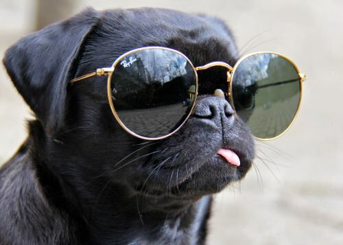 Black Pug Wearing Sunglasses With Images Cute Pugs Pugs Cute