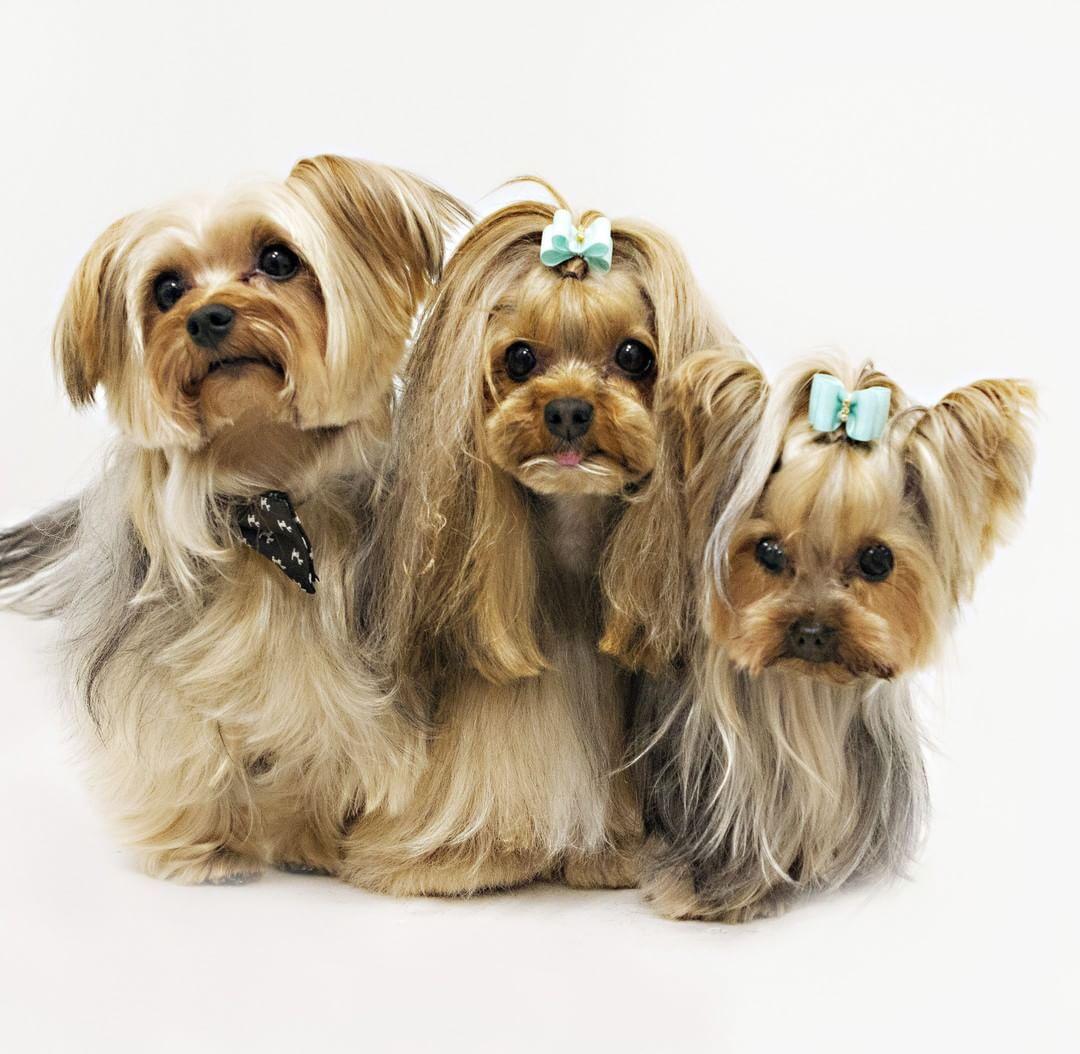 Pin by Pamela Elliott on pups Smiling dogs, Yorkshire