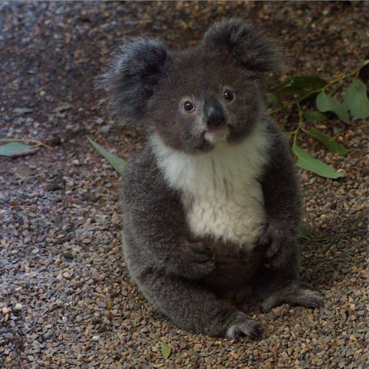 Cool Koala Bear Chubby Adorable Dog - 03fa91a8d1bc7f815a35c3dd46034d7d  You Should Have_861486  .jpg