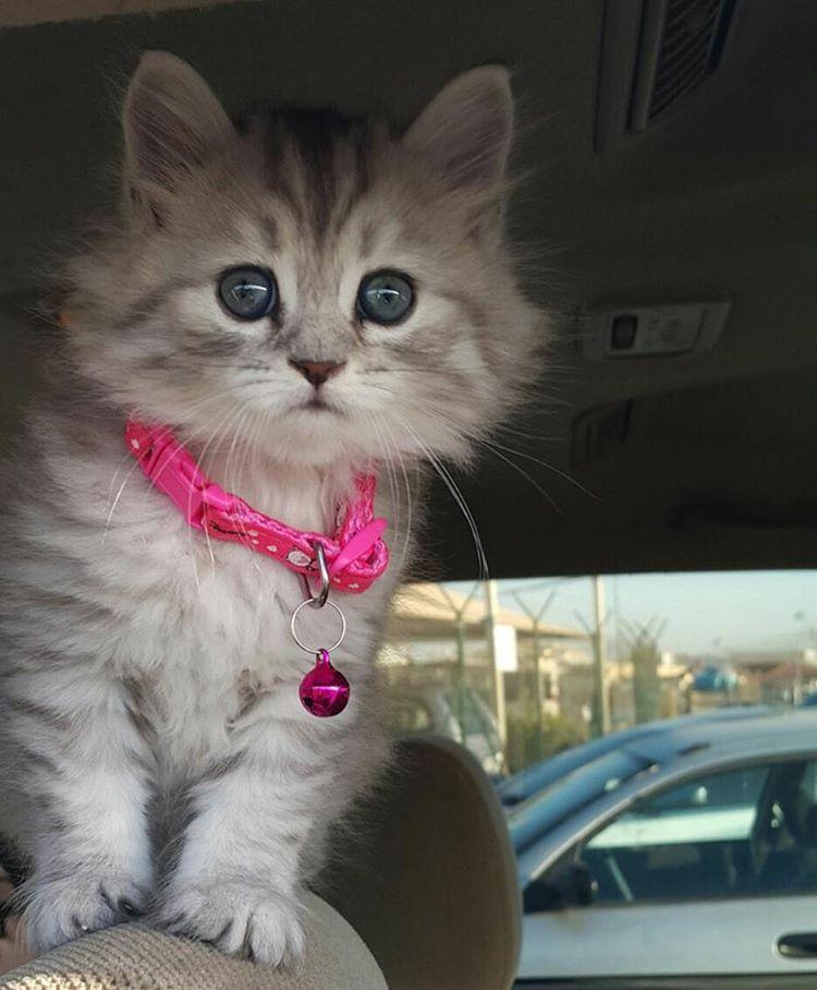 قطط للبيع Bebo On Instagram تم البيع قطط للبيع للبيع شيرازي للبيع قطط شيرازي للبيع قطط قطة للبيع للبيع جدة مكة المكرمة مك Cats Animals Kittens