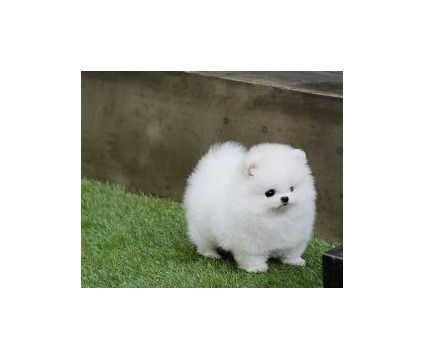 Exquisite Miniature Pomeranian Puppies Puppies Pomeranian Puppy Pomeranian Puppy For Sale