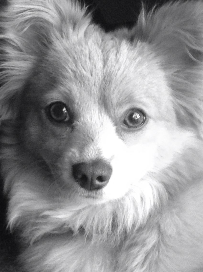 Pomeranian Mixed With Long Haired Chihuahua Her Names Evie Cute Animals Tumeric For Dogs Angry Dog