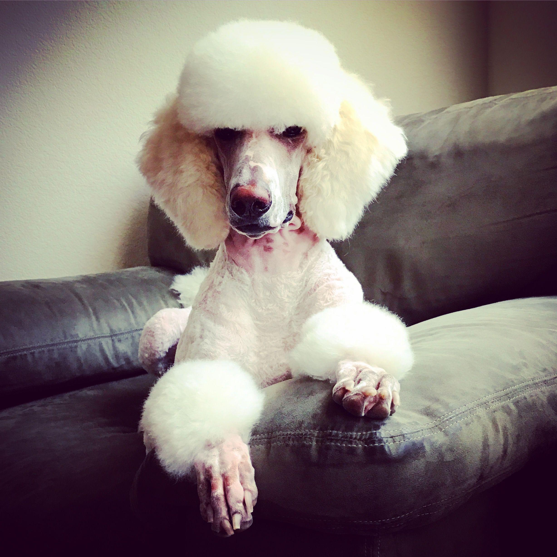 Standard Poodle White Poodle Fancy Poodle Poodle Puppy