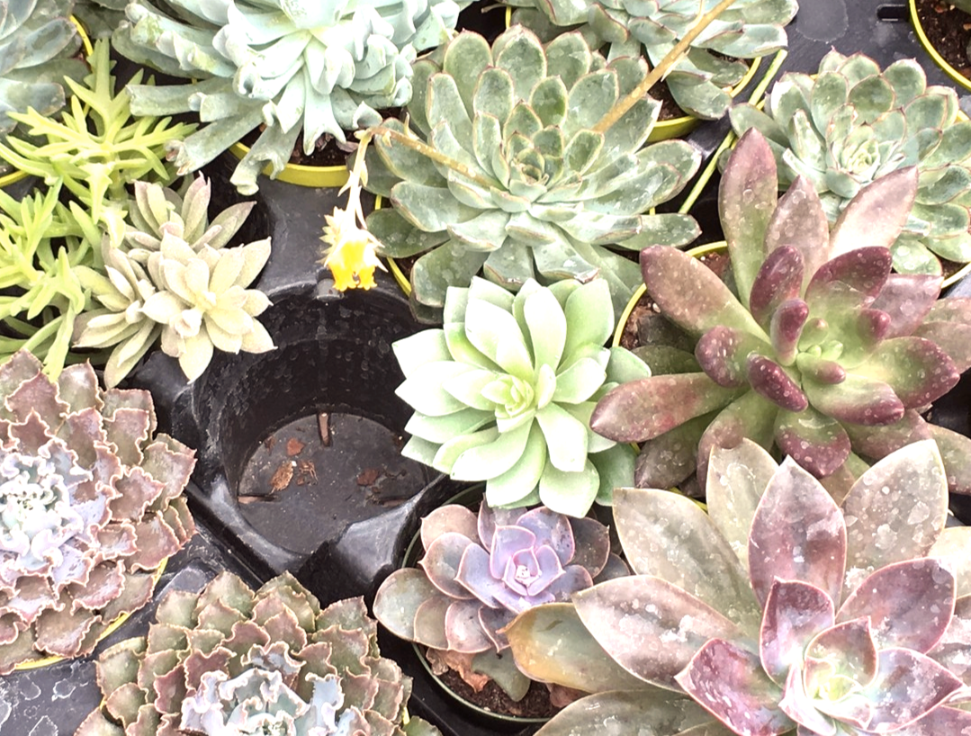 The Succulents Are Here Garden Podcast Gardenpodcast