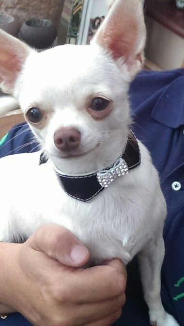 Join Jamie On Facebook Jamie A Little White Chihuahua Cute