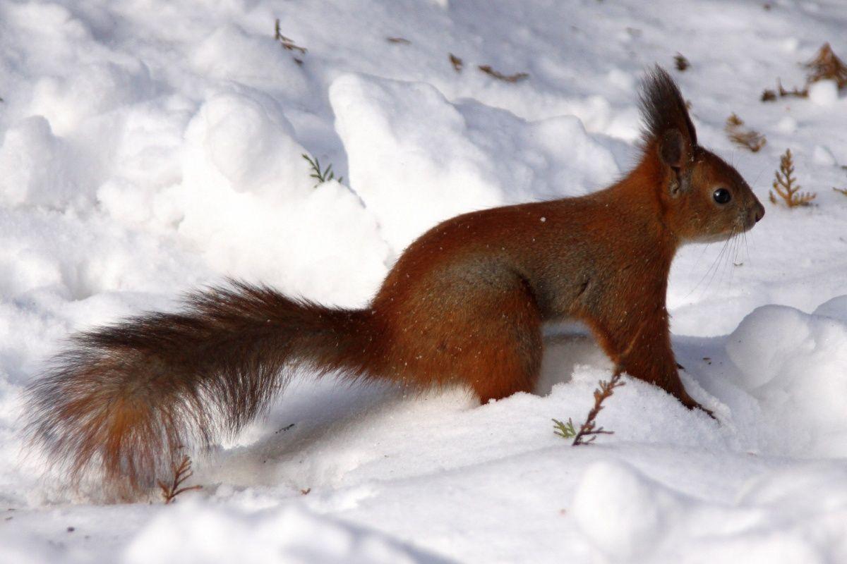 Google Image Result for http://portugues.torange.biz/photo/5/13/Neve-esquilo-1268053616_53.jpg http://www.torange-pt.com/animals/squirrel/Neve-esquilo-4137.html  Banco de fotos www.tOrange-pt.com livres e grátis Neve esquilo  Tags - #patas #árvore #Drift #Snow #abeto #neve #planta #branco #frio #inverno #mato #Florestal #Parque #mantém #vermelho #esquilo #orelhas #macias #rabo #estar #deve