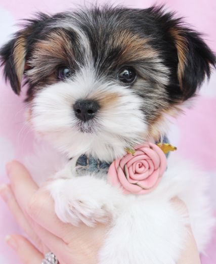 Biewer Yorkshire Terrier Puppy at TeaCups Puppies