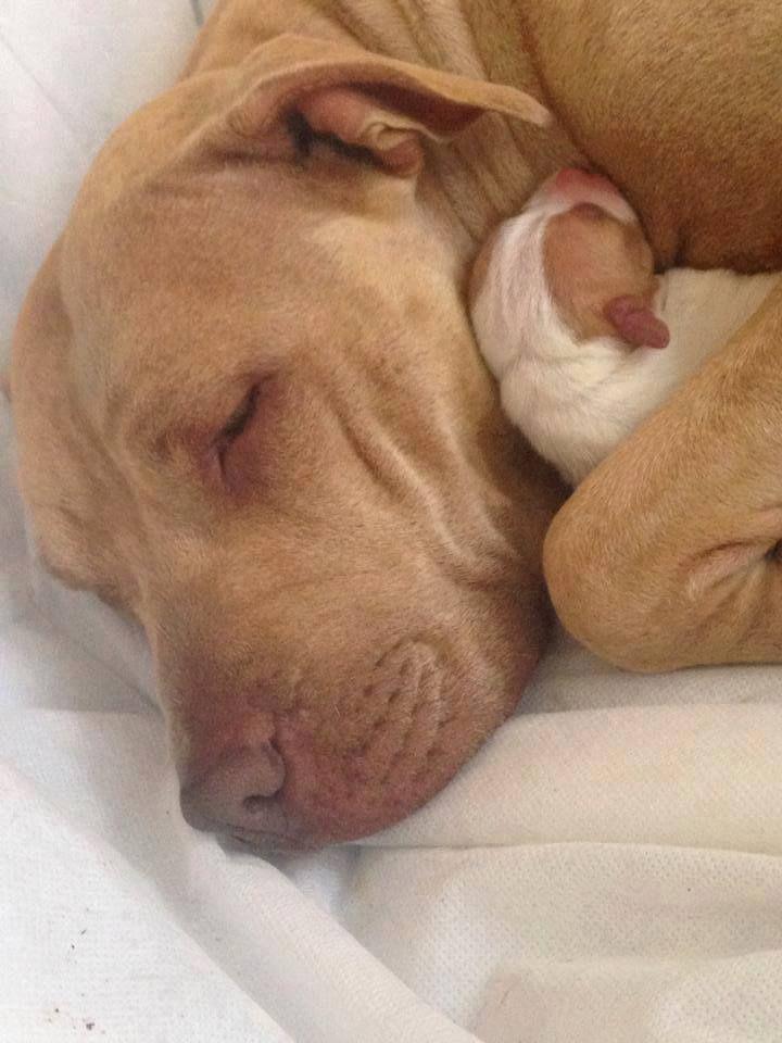 Sweet dream #Amstaff | American Stafford, Pitbulls ... Blue Nose Pitbull Newborn Puppies