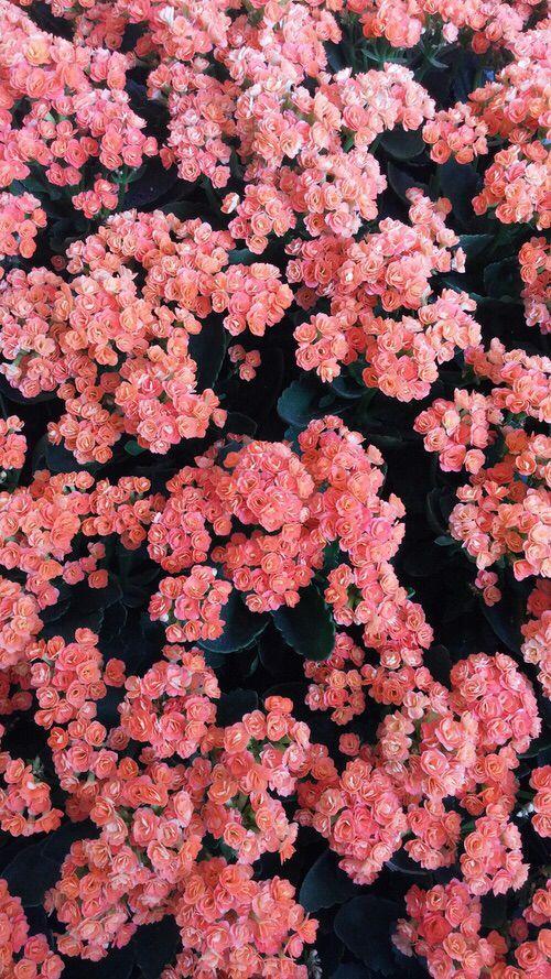 Fondo de pantalla Flores coral   Flores   Coral wallpaper ...
