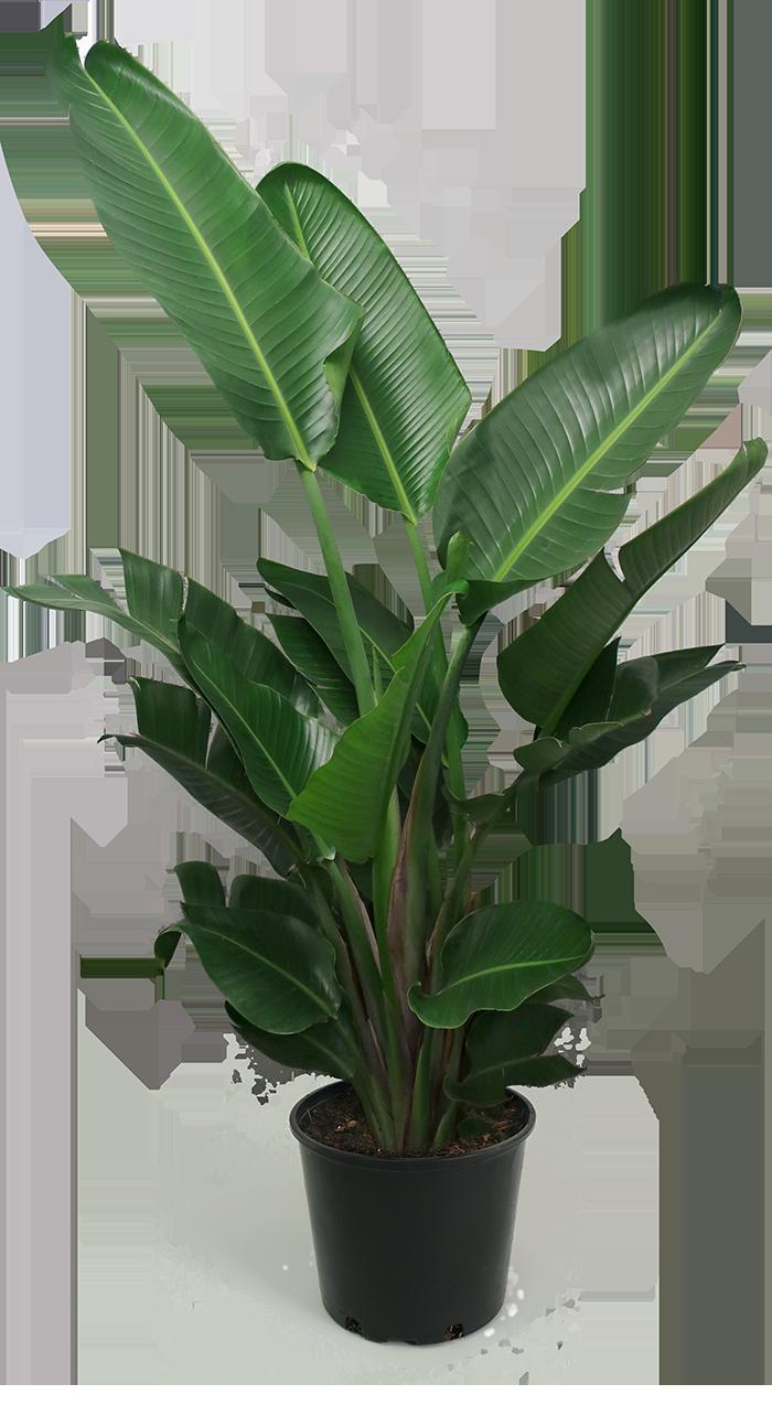 Foto Piante Da Appartamento Verdi bird of paradise large nel 2020 (con immagini)   piante da
