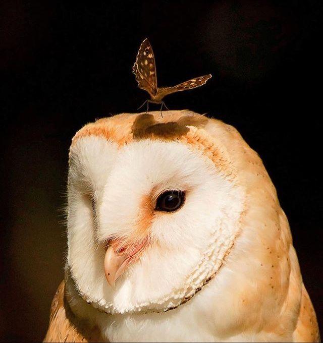 フクロウの頭に蛾の壁紙