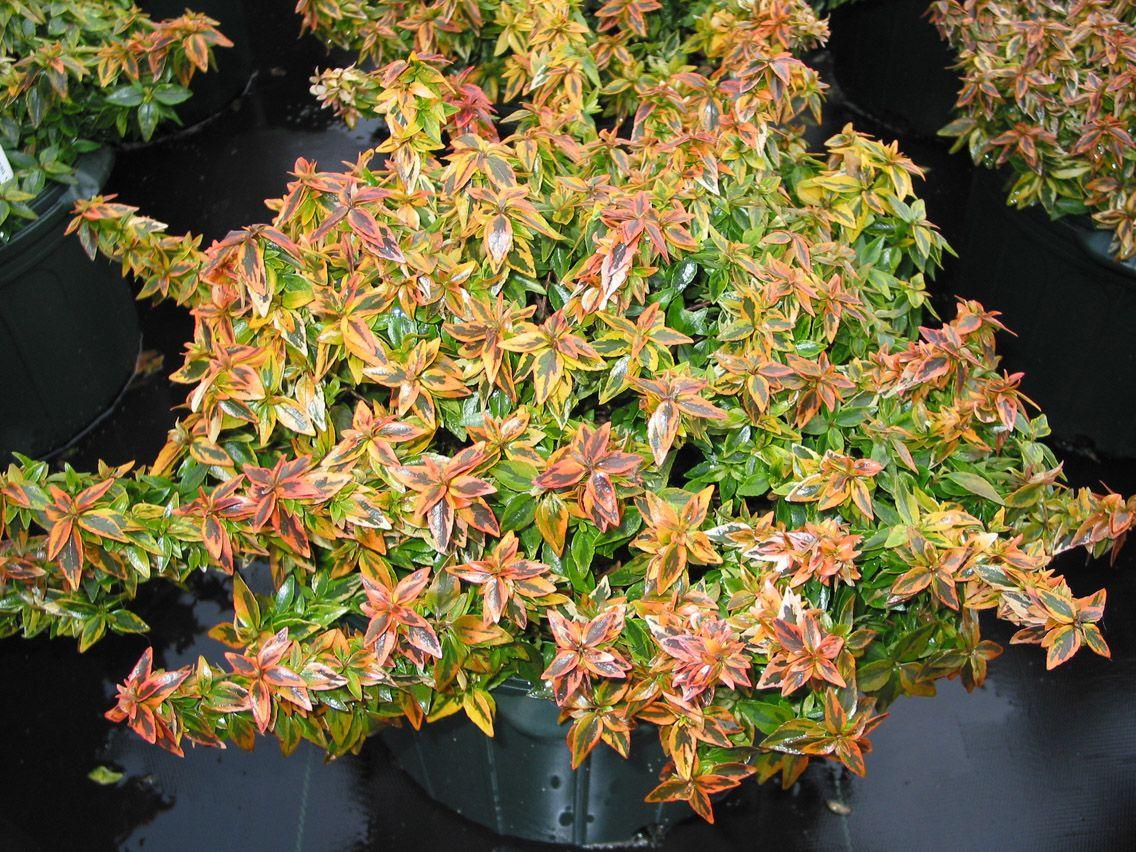 abelia grandiflora kaleidoscope cov 1m jeunes pousses et fllage hivernal rouge. Black Bedroom Furniture Sets. Home Design Ideas