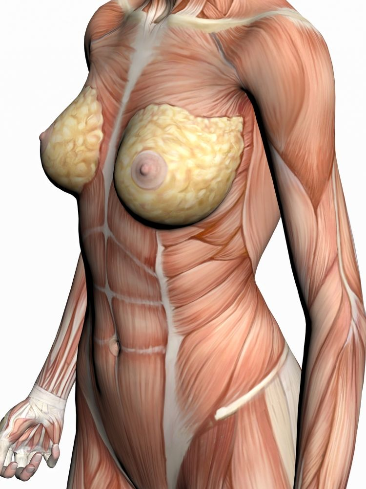 Female Front Torso Muscles Makeup And Beyond Amazing Anatomy