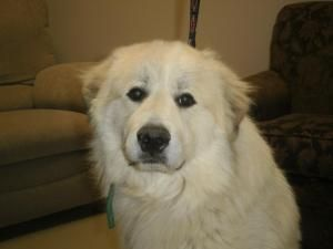 Adopt Big Head Todd On Top Dog Breeds Great Pyrenees Great