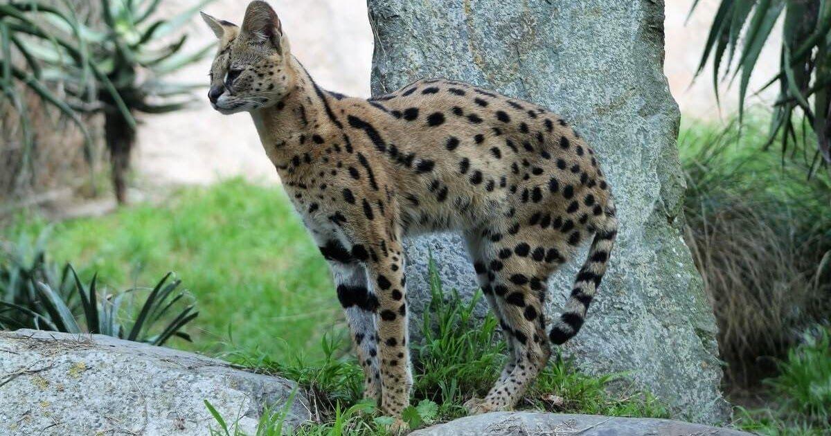 معلومات مثيرة للإهتمام حول قط السرفال Animals Kangaroo Blog Posts