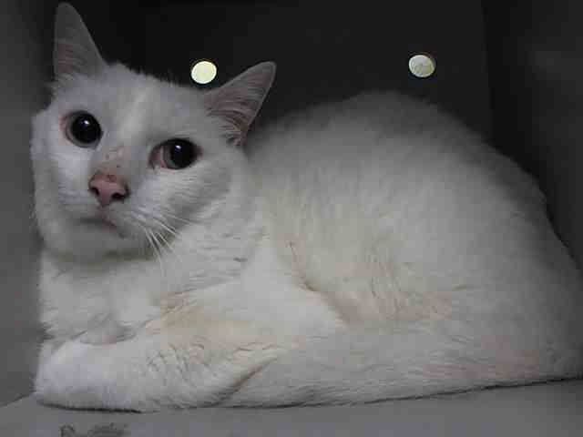 NYC Senior TO DESTROYED June 23`14 PEARL came in with Group/Litter #K14-181174 because `guardian`MOVE. ID #A1002936. Spayed white about 11 YRS  ** Average Pearl interacts with the observer, appreciates attention, is easy to handle and tolerates all petting. This cat is showing behavior appropriate for new or experienced cat parents.
