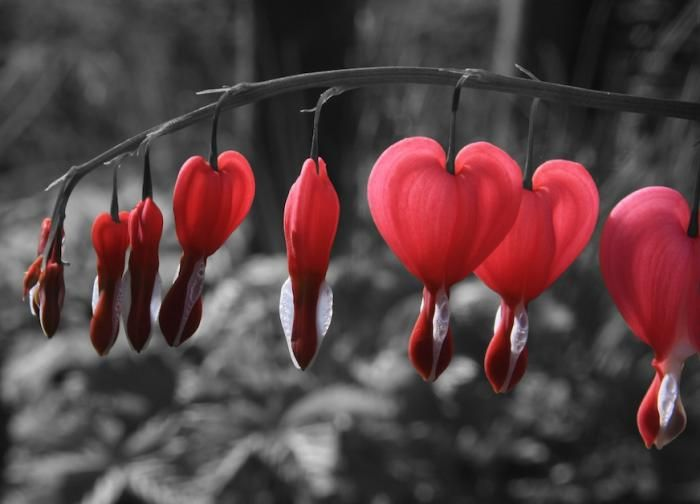 bleeding hearts planting instructions