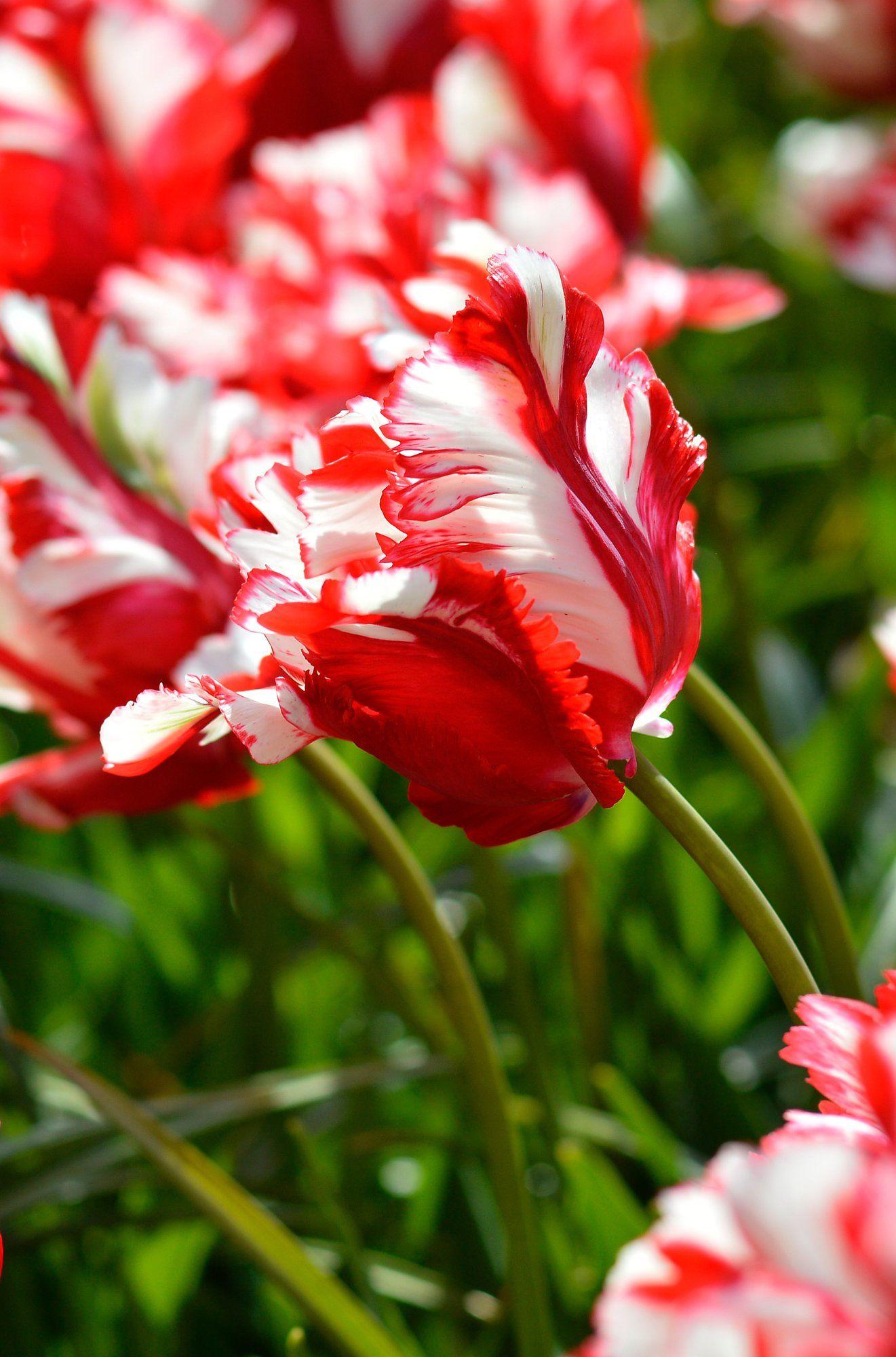 Tulip Estella Rijnveld Top size bulbs Bulb flowers
