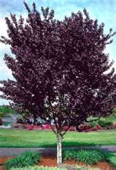 Plum Disease Purple Leaf Sand Cherry Newport Tree
