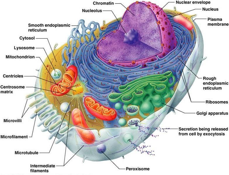 Anatomy Physiology 120 Lavender Flashcards Anatomy
