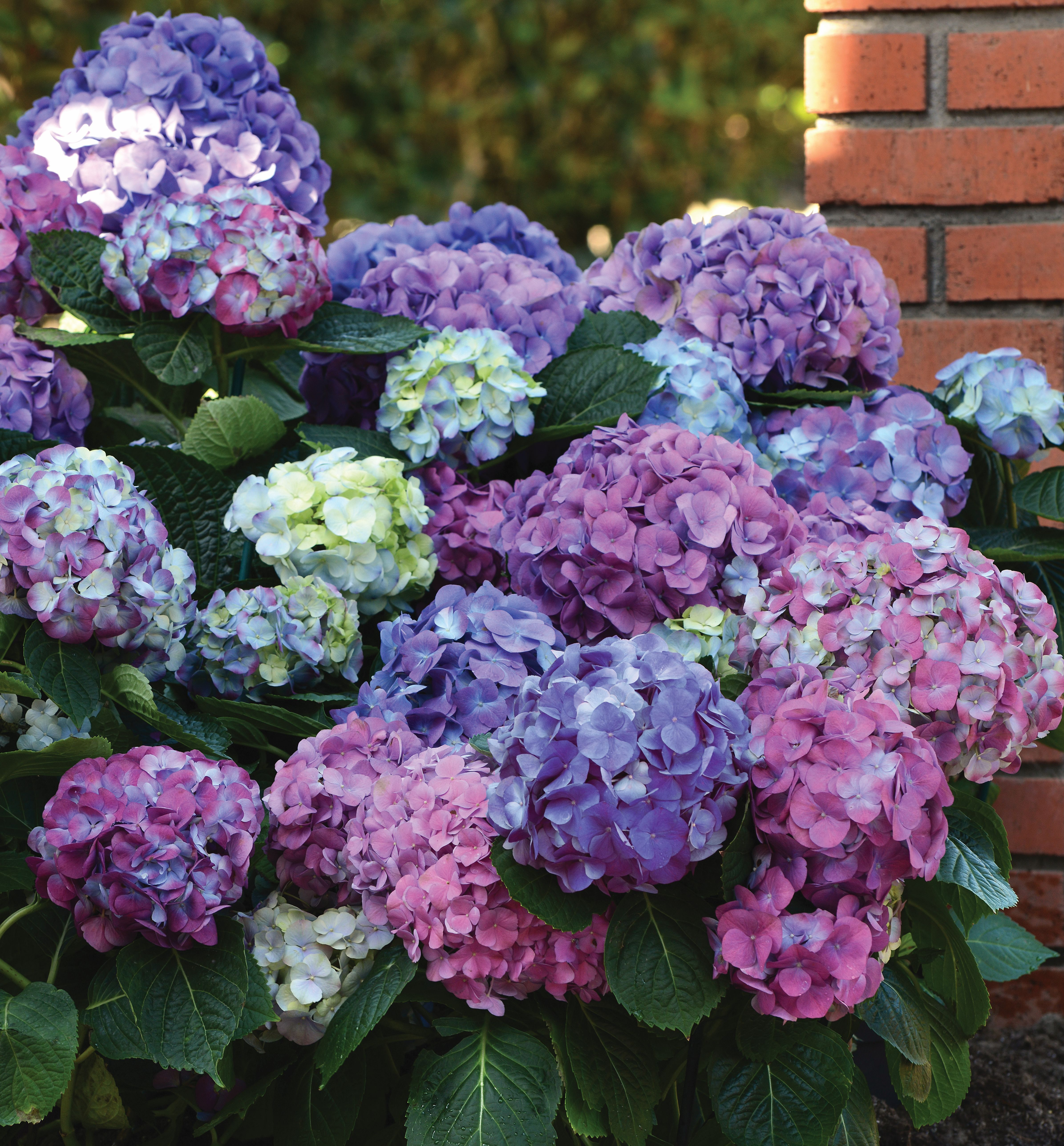 L A Dreamin Hydrangea An Exciting Hydrangea With Both Pink And Blue Blooms On The Same Plant This Is A Strong Rebloo In 2020 Planting Hydrangeas Hydrangea Plants