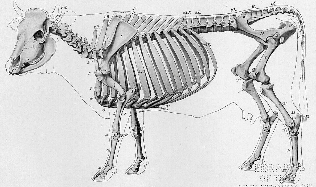 Cow Skeletal Diagram - Fusebox and Wiring Diagram series-brick -  series-brick.haskee.itHaskee.