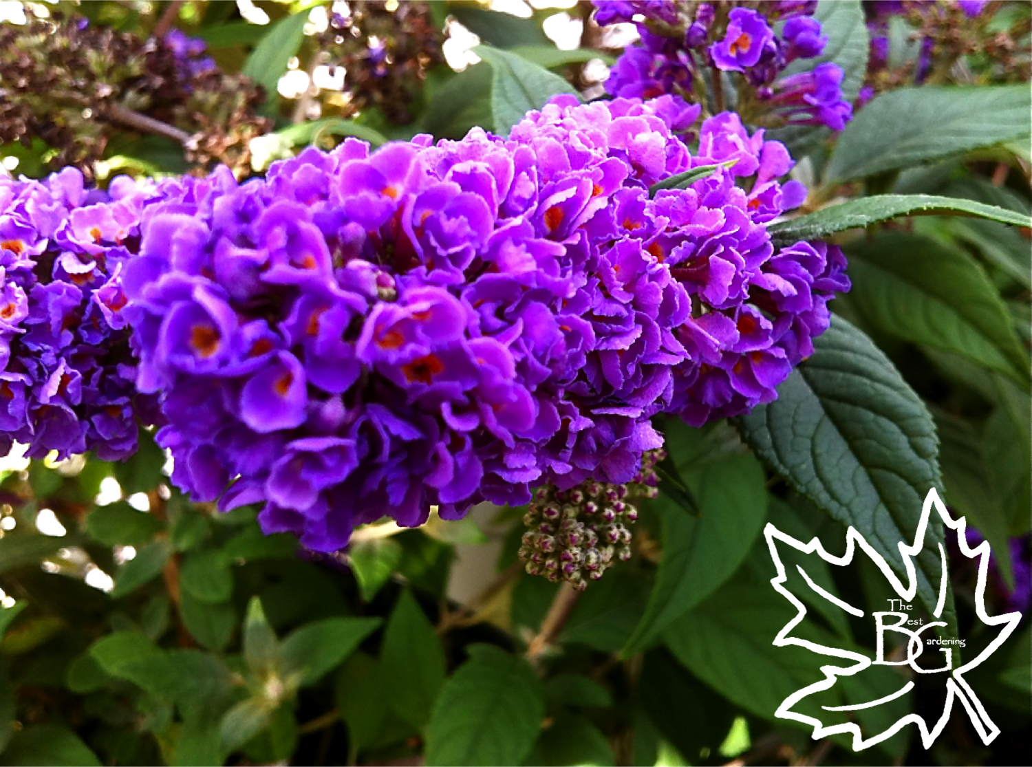 Purple Butterfly Bush 011 Png 1 500 1 115 Pixels Butterfly Plants Butterfly Bush Attracting Beneficial Insects