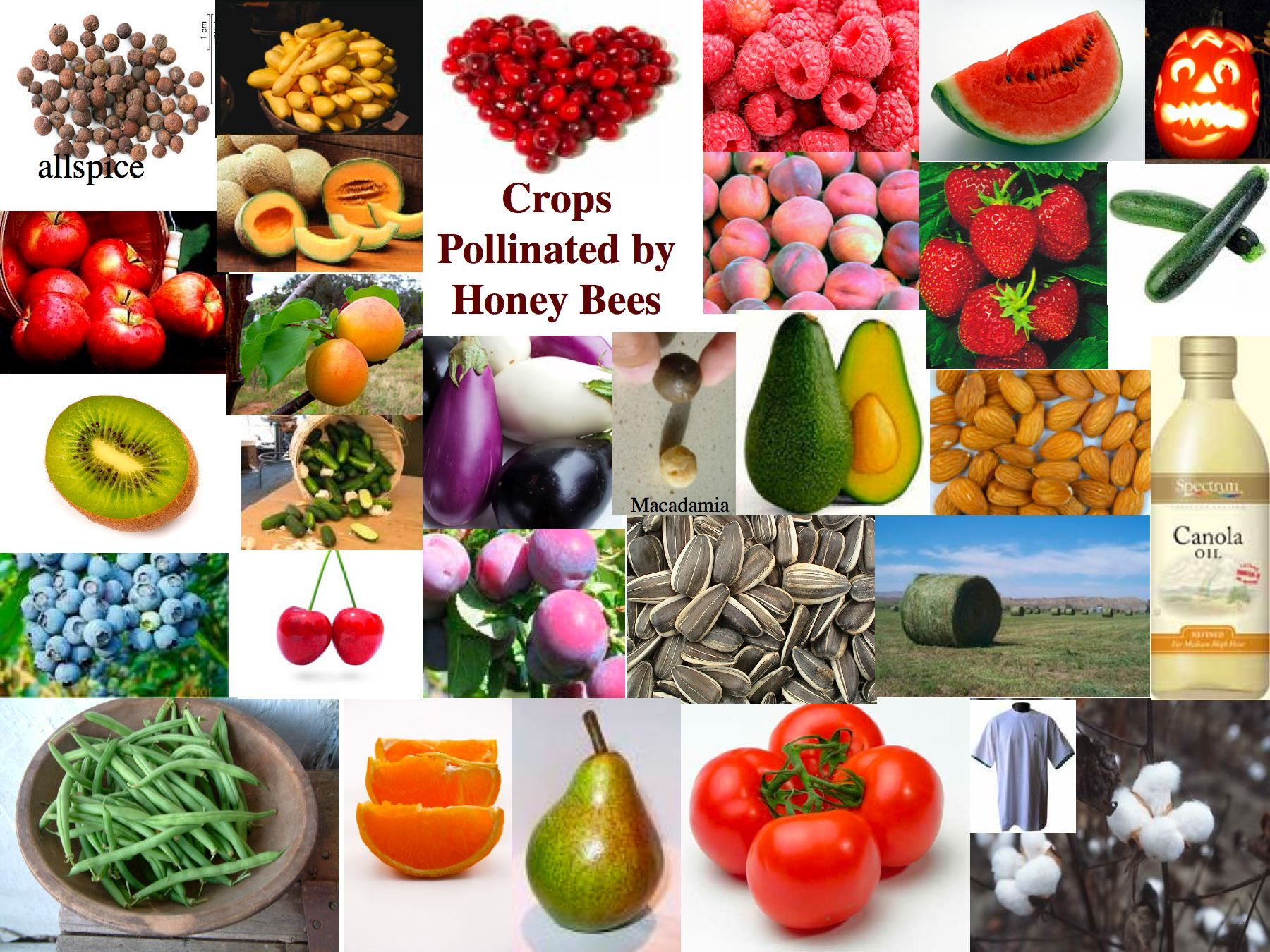 Image source plantsam com - Crops Pollinated By Honey Bees