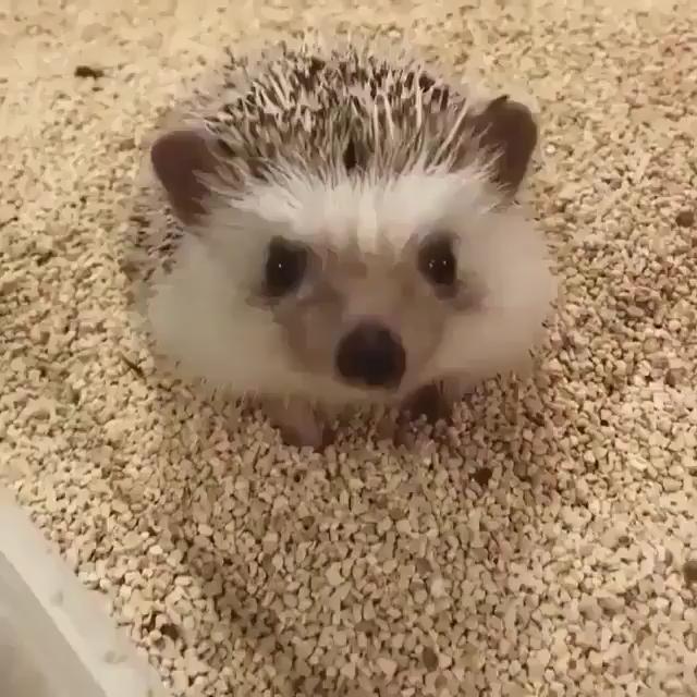 Have you ever seen a hedgehog stretch ️