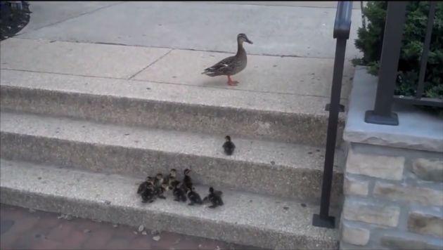 YouTube: Patos bebés aprenden a subir escaleras sin la ayuda de su madre