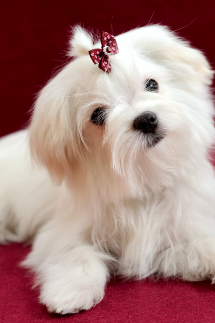 Portrait Of A Cute White Long Haired Maltese Girl On A Red