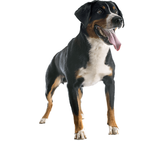 Appenzeller Sennenhund Mountain Dog Sennenhund Appenzeller