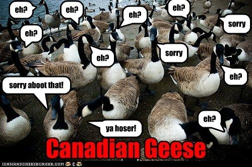 Canadian Geese Eh With Images Canadian Goose Funny Animals