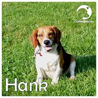 Novi Mi Beagle Meet Hank A Dog For Adoption Http Www