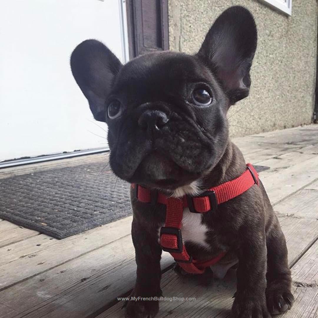 French Bulldog Puppy Franzosische Bulldoggenbabys Franzosische Bulldogge Hunde